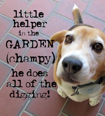 Champy-Dog!
